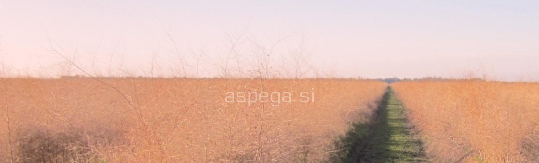 špargljev nasad jeseni