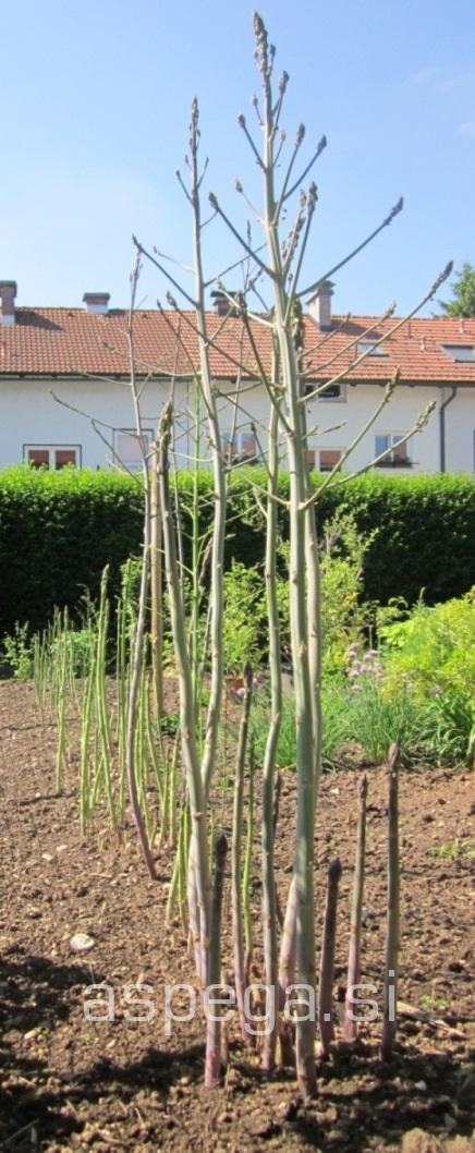 Šparglji na vrtu