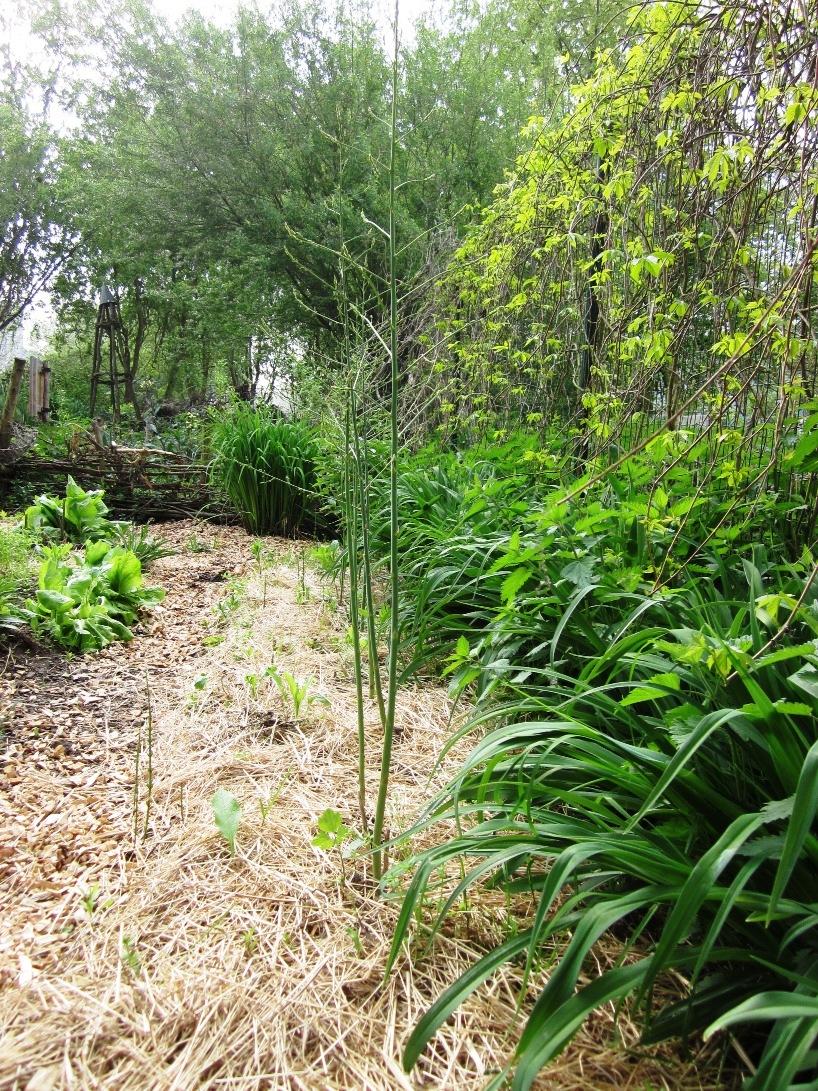 Šparglji na vrtu Cvetlične